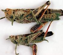 locust 2